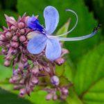 Blue Fountain Bush