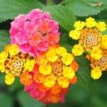Common Lantana flower