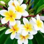 Common White Frangipani