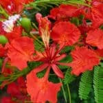 Delonix Regia flower
