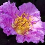 Queen Crape Myrtle flower